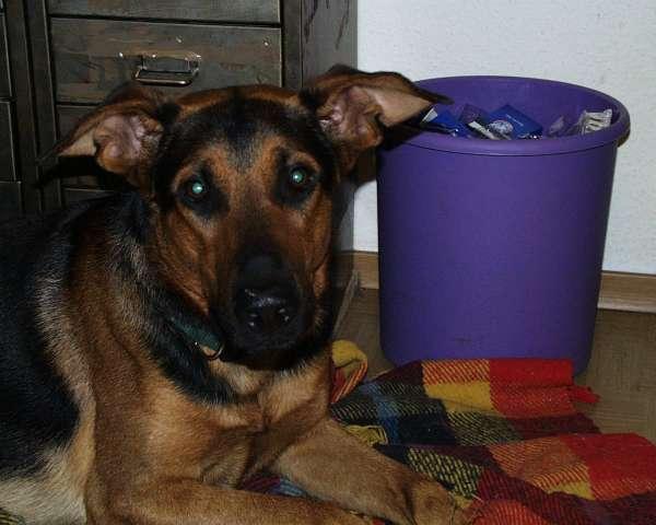 Jerry, ein Schäferhund-Dobermann-Mischling mit zwei Jahren.