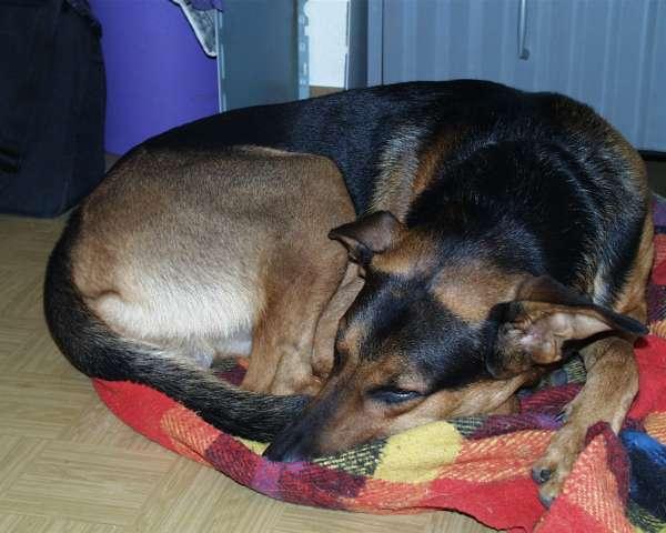 So klein kann sich mein Hund Jerry machen. Aufgenommen im August 1999. Ein Schäferhund-Dobermann-Mischling.