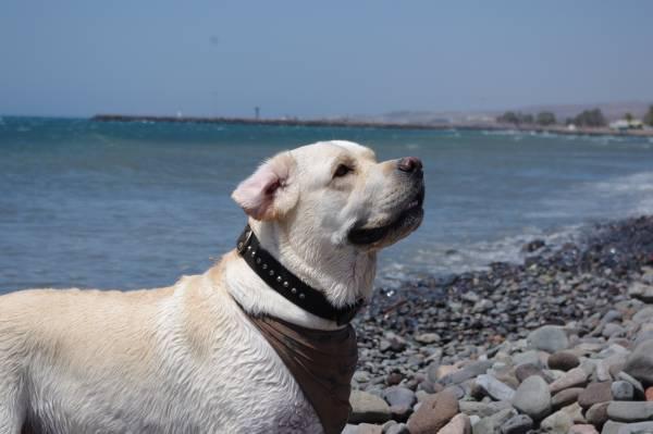 Der Labrador Retriever liebt Wasser. Hier ein Labi beim Spielen am Meer.