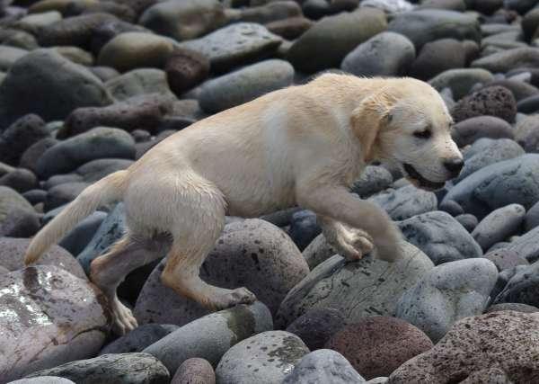 Der kleine Tonko, ein Labrador Welpen mit etwas über zwei Monaten.
